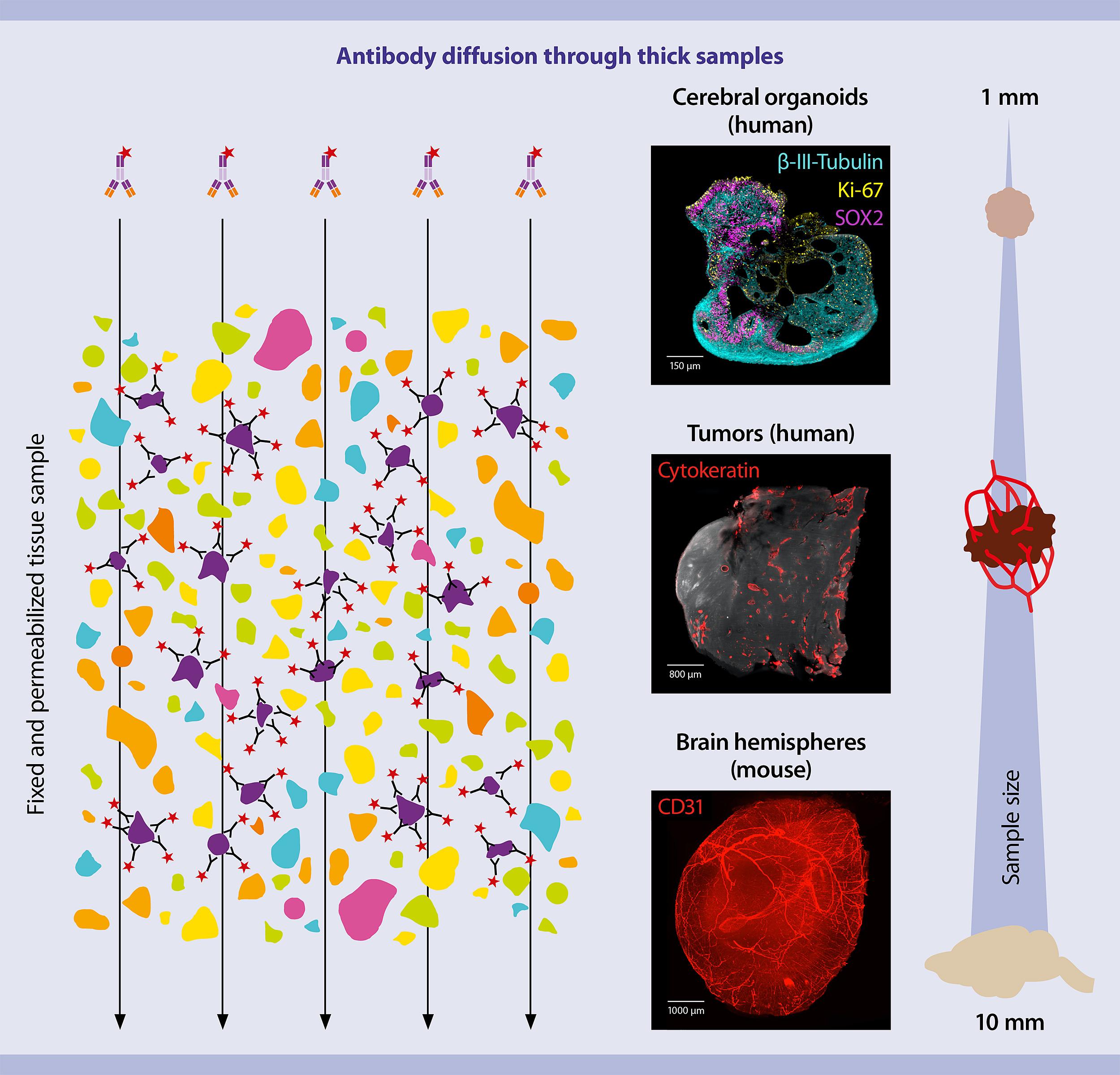 Antibody diffusion through thick samples