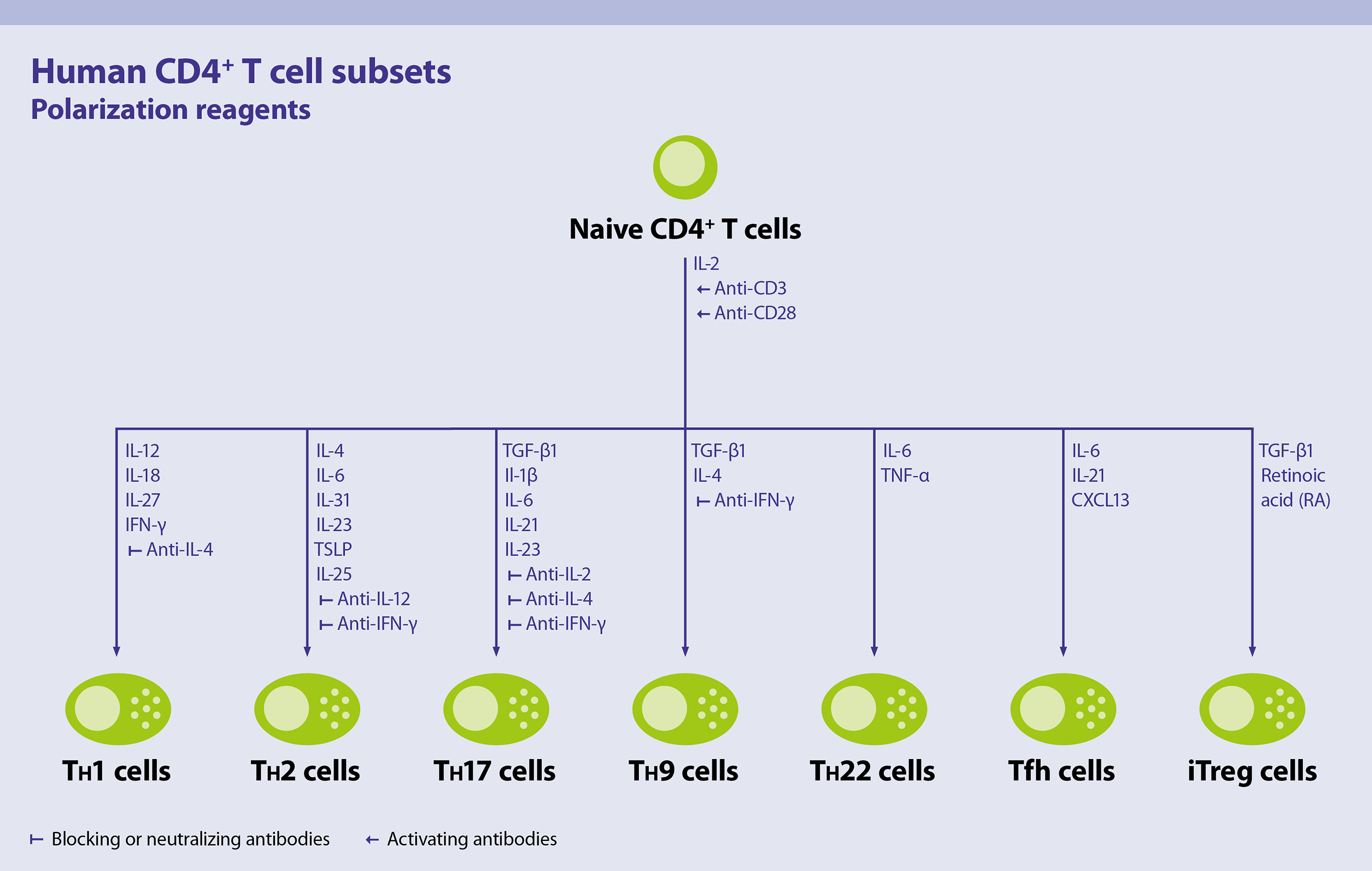 Cd4 T Cells Human Human Cell Types Human Cells And