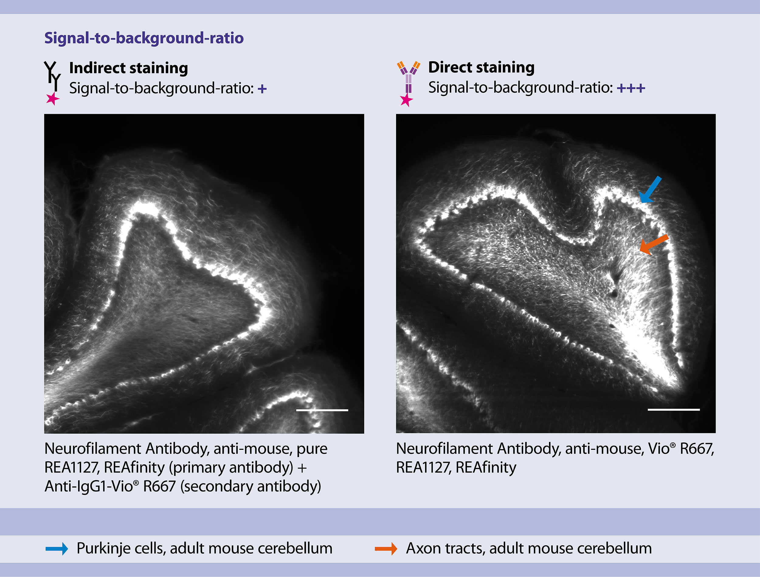 Signal-to-background ratios of large, cleared samples stained using direct vs indirect immunofluorescence staining