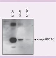 c-myc Antibody, anti-human/mouse/rat