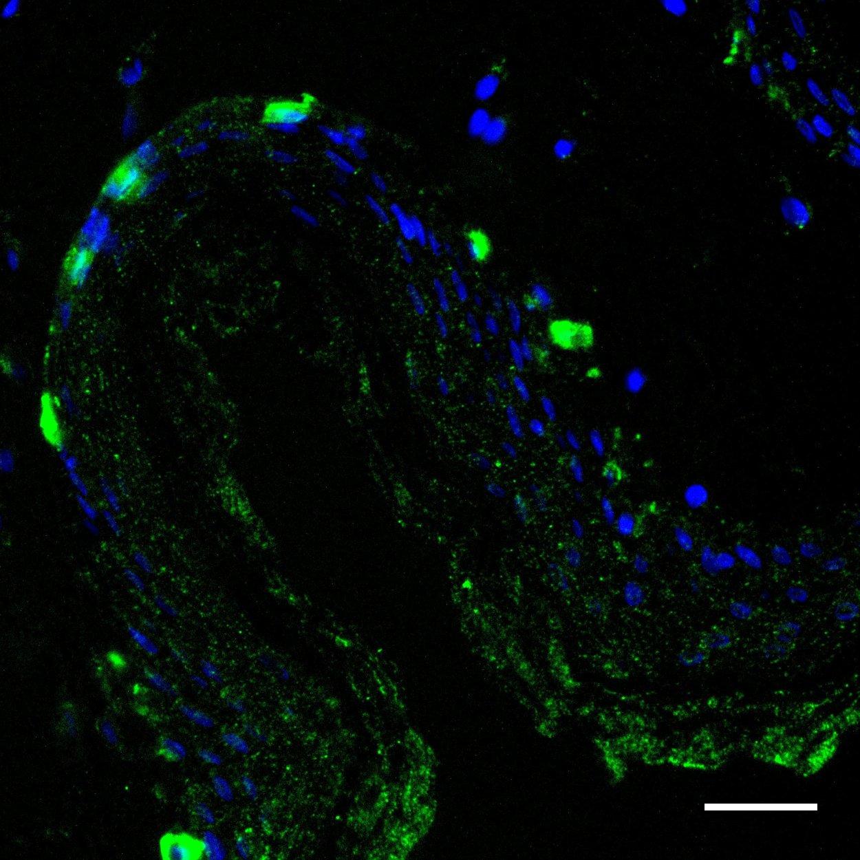 MART-1 Antibody, anti-human, REAfinity™