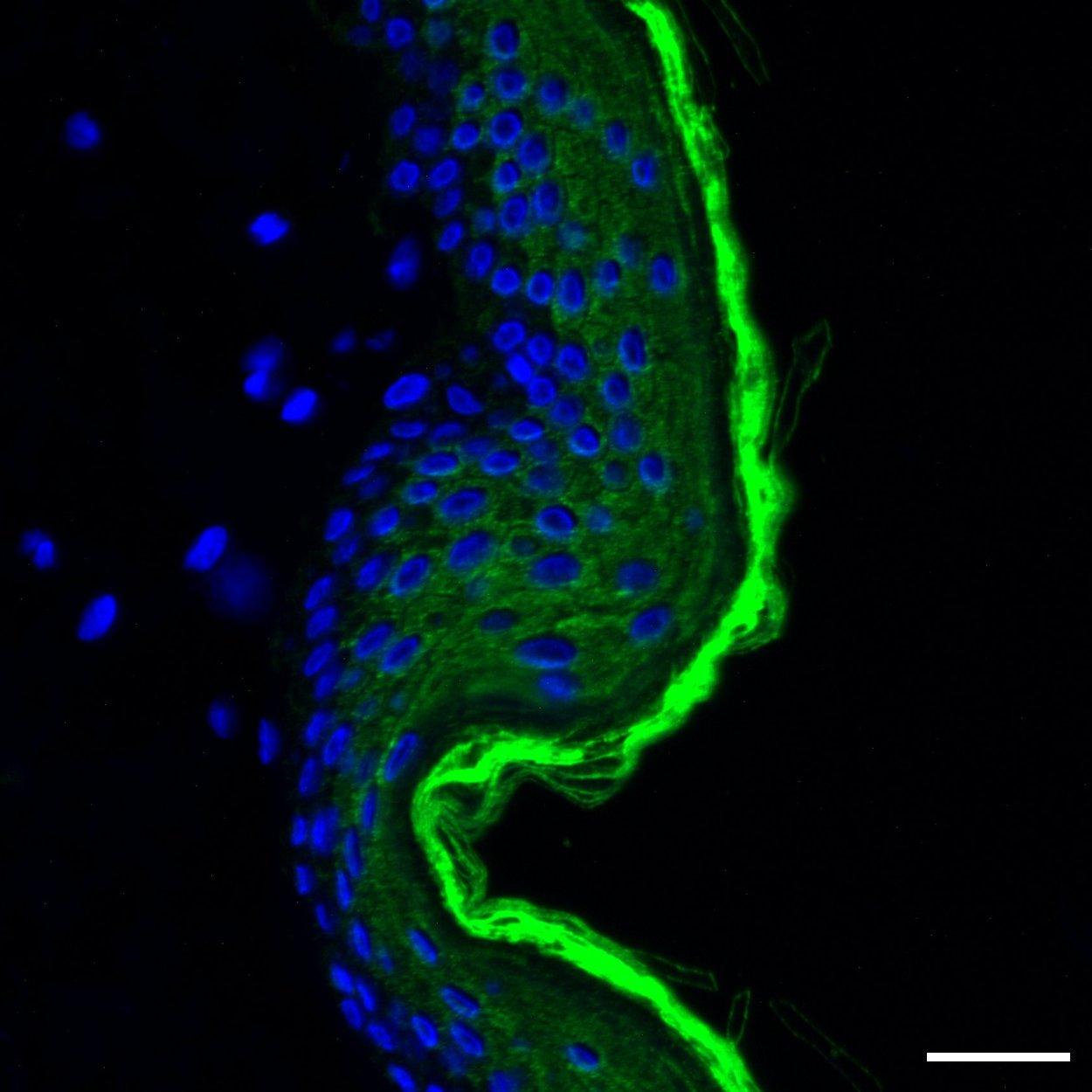 Cytokeratin 10/13 Antibody, anti-human, REAfinity™