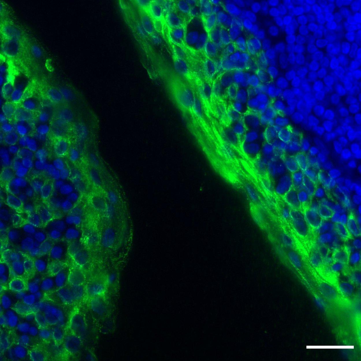 Cytokeratin 5/6 Antibody, anti-human, REAdye_lease™
