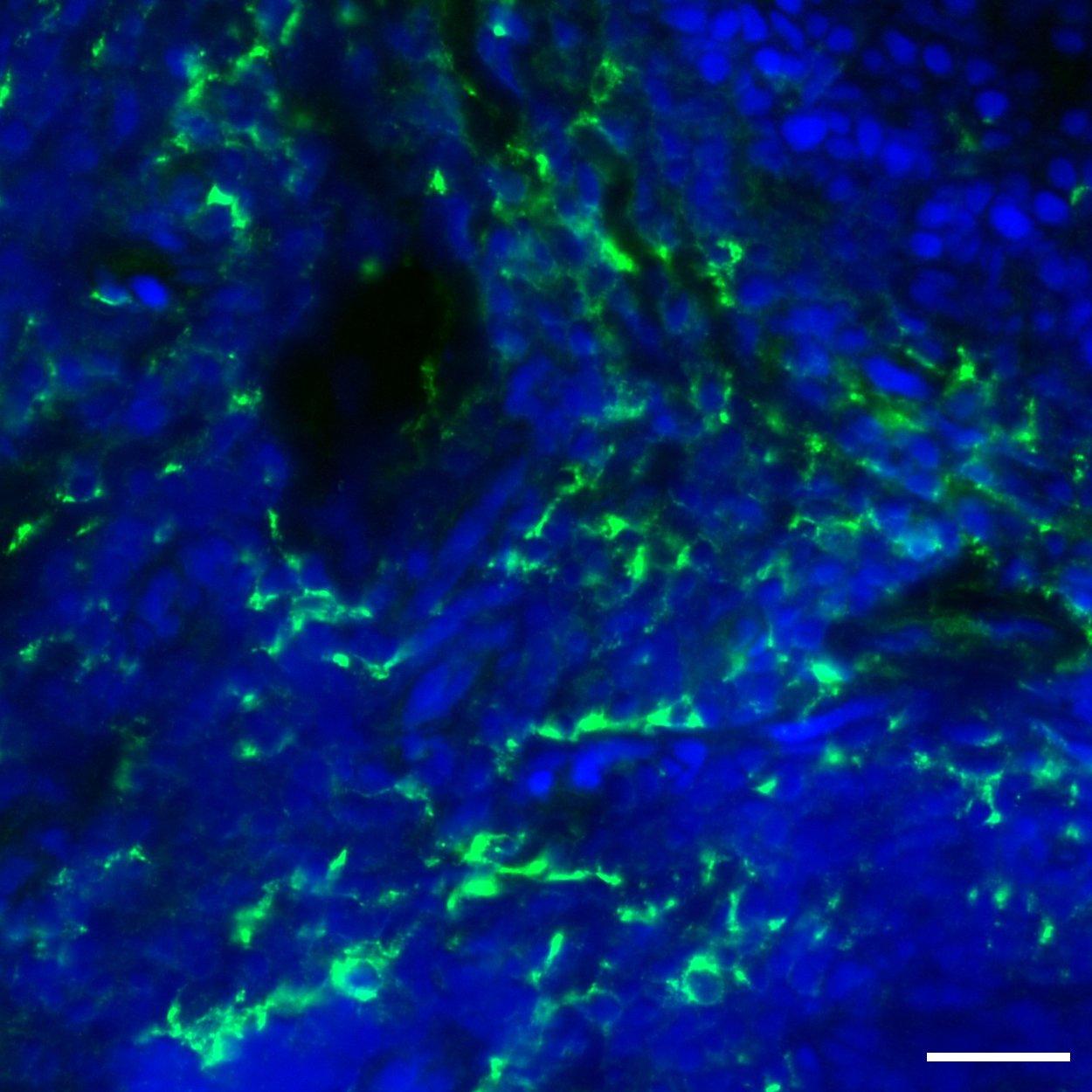 CD163 Antibody, anti-human, REAdye_lease™